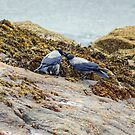 Hooded Crows by VoluntaryRanger