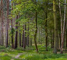 Woodland Track by Paul Richards