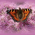 Tortoiseshell Butterfly on Pink Sedum. by Lilian Marshall