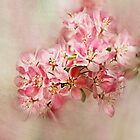 appleblossom by lucyliu