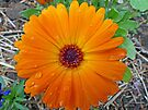 Calendula after a Spring Shower by Susan S. Kline