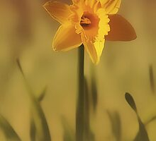 Soft Spring Daffodil by ArtofOrdinary