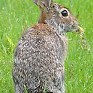 Eastern Cottontail Rabbit by William Brennan
