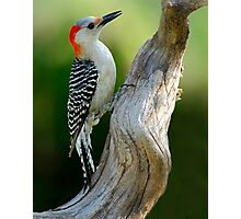 Working on It - Female Red-Belllied Woodpecker Photographic Print