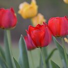 Tulips  by anchorsofhope