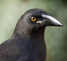 Currawong portrait by Ron Co