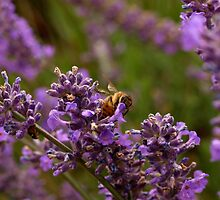Busy Bee #2 by Aileen David