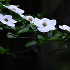 Dogwood in Bloom by franceshelen