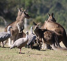 Kangaroos and Cape Barren Geese by TassieTigress