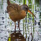 Virginia Rail by kevin  caldwell