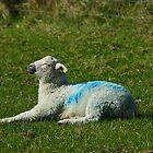 Lamb Sunbathing by glynk