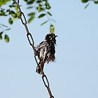 &#x27;I FEEL LIKE A DROWNED RAT&#x27;! New Holland Honeyeater.  by Rita Blom