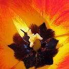Red and yellow tulip stamens by Avril Harris