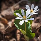 Bloodroot by PhotosByHealy