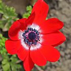 Vivid Red Anemone flower by Avril Harris