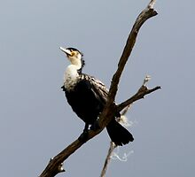 White-breasted Cormorant - Phalacrocorax lucidus – Witborsduiker by Rina Greeff