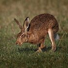 Hare On The Hop by Patricia Jacobs CPAGB