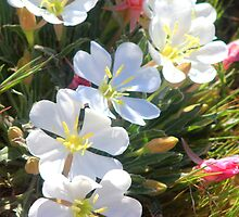 Evening Primrose by Arla M. Ruggles