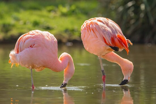 Chilean Pink Flamingo by Roger Hall