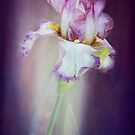 Iris Mystique by Diane Schuster