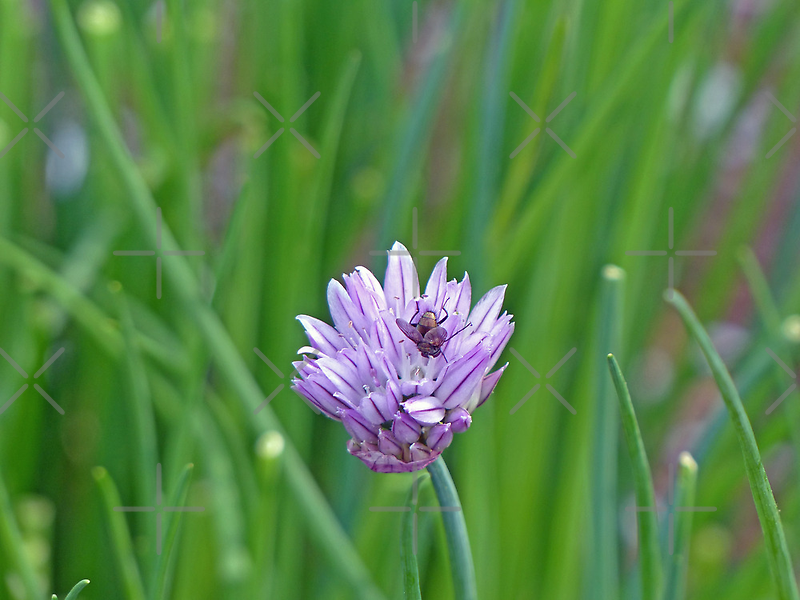A Fly, Upside down in my Chive by Susan S. Kline