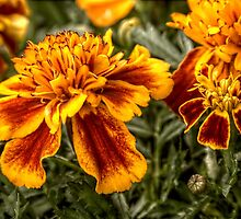 Marigolds by Andrew Pounder