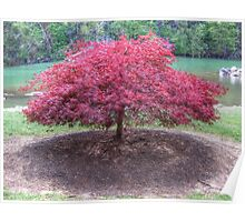 Red Laceleaf Japanese Maple Poster