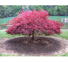 Red Laceleaf Japanese Maple Photographic Print