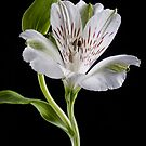 Alstroemeria Rivale by John Edwards