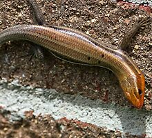 Male Five Lined Skink by Otto Danby II