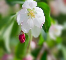 Crab Apple Flowers by Yannik Hay