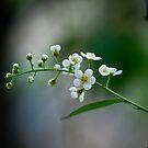 Black Cherry Blossoms by ElyseFradkin