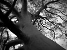 Scary Tree- Bridgewater Ghost Gum by Ben Loveday