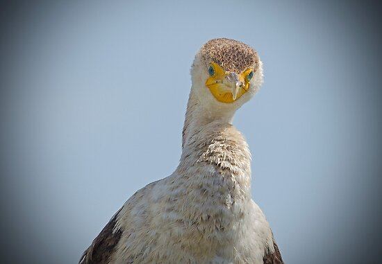 Cormorant Staring at me by imagetj