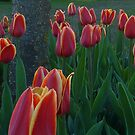 Tulips from Amsterdam by M. Kuypers