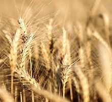 Ripe Wheat by Fabian Lackner