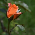 Peach Rose by paulbl