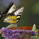 Butterfly in Fractalius by Karen Checca