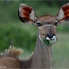 FEMALE KUDU  TRAGELAPHUS  Strepsiceros  KOEDOE OOI by Magaret Meintjes