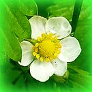 Wild strawberry flower by The Creative Minds