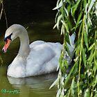 Swan by mariusvic