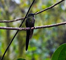 Mindo Hummingbird In The Rain by Al Bourassa