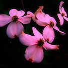 Dogwood in dark by Photoscapesohio