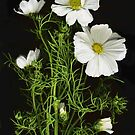 Bright White Cosmos by Barbara Wyeth