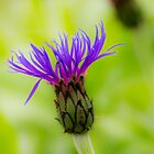 Mountain Cornflower by DIANE  FIFIELD