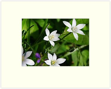 Wild Wood Anemone by Nadya Johnson