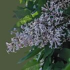 The Sweet Smell of Lilacs © by GardenJoy