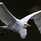 Great White Egret Flight Air Flow by Joe Jennelle