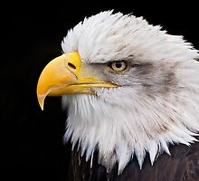 Kayla the bald eagle by Helen Lewis