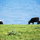 Grazing Cattle at East Prawle by Pauline Mason